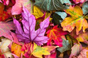 Autumn-leaves-auckland